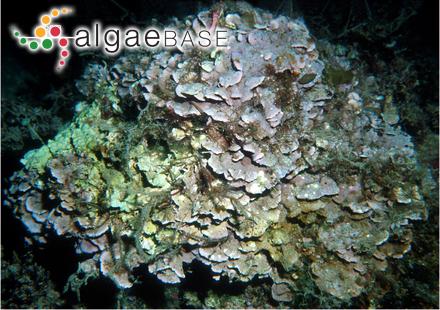 Hypoglossum caloglossoides M.J.Wynne & Kraft