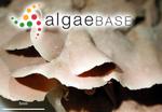 Melobesia stictaeformis Areschoug