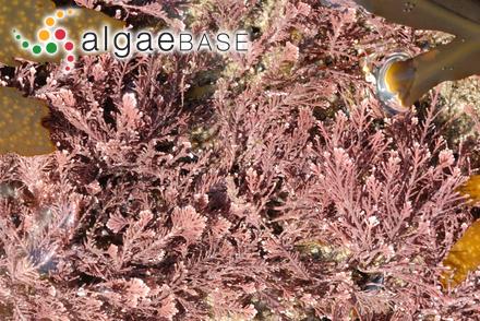 Polysiphonia mollis J.D.Hooker & Harvey