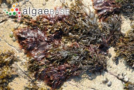 Callithamnion apicale Noda
