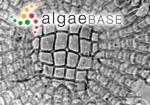 Corallina membranacea Esper