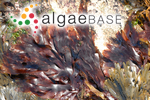 Ulva palmata (Linnaeus) Withering