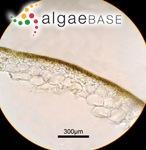 Scytosiphon canaliculatus (Setchell & N.L.Gardner) Kogame