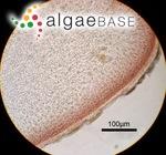 Polyopes prolifer (Hariot) Kawaguchi & Wang