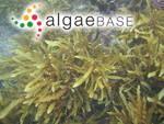 Sargassum tortile f. macrocarpum (C.Agardh) Yendo