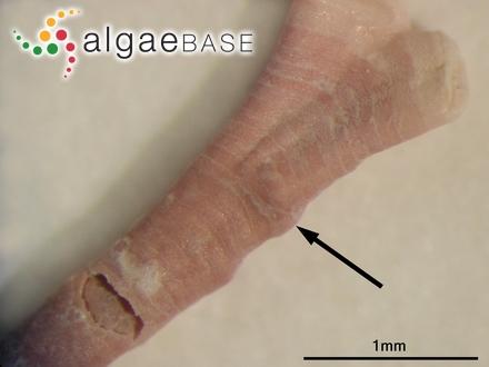 Erythroglossum californicum (J.Agardh) J.Agardh