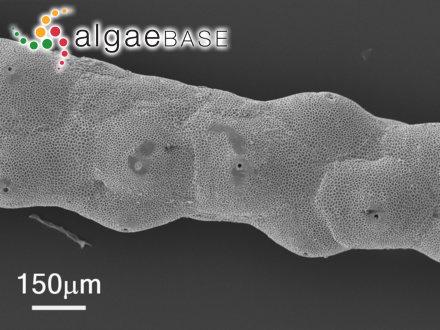 Hollenbergia subulata (Harvey) E.M.Wollaston