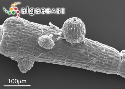 Lithothrix aspergillum J.E.Gray