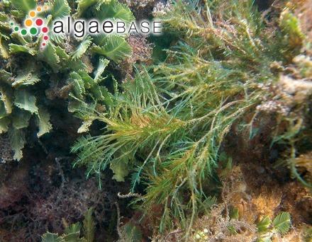 Pterosiphonia clevelandii Hollenberg