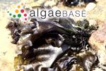 Gigartina capensis (J.Agardh) D.H.Kim