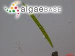 Closterium acerosum Ehrenberg ex Ralfs