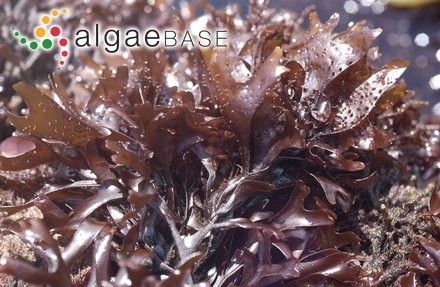 Lithoporella atlantica (Foslie) Foslie
