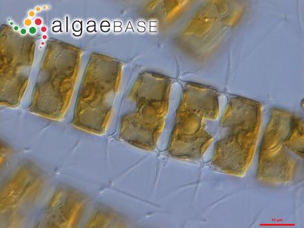 Neogoniolithon dispalatum (Foslie & M.Howe) W.H.Adey