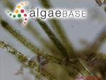 Cladophora glomerata (Linnaeus) Kützing