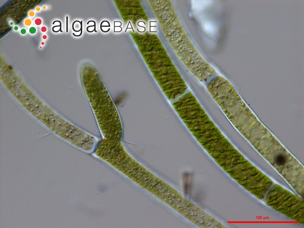 Pterocladia bartlettii var. musciformis W.R.Taylor