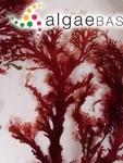 Sphaerococcus lambertii (Turner) C.Agardh