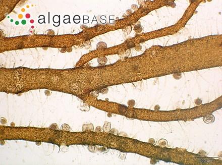 Schimmelmannia elegans Baardseth