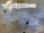 Cyclotella kutzingiana var. meneghiniana (Kützing) Brun