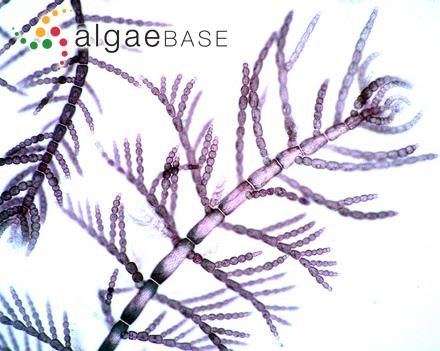 Predaea feldmannii Børgesen