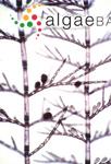 Antithamnion densum (Suhr) M.Howe