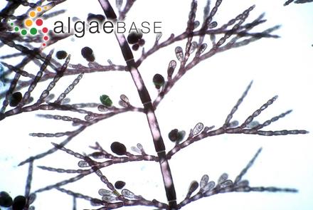 Petroglossum undulatum C.W.Schneider