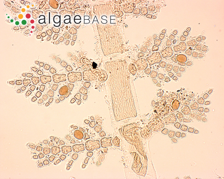 Eucheuma isiforme (C.Agardh) J.Agardh