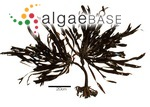 Eisenia arborea f. bicyclis (Kjellman) Yendo
