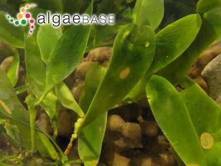 Caulerpa prolifera (Forsskål) J.V.Lamouroux