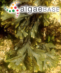 Fucus vesiculosus var. spiralis (Linnaeus) C.Agardh