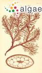 Mychodea compressa Harvey