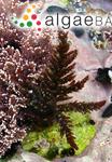 Callithamnion granulatum (Ducluzeau) C.Agardh