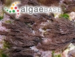Acanthophora nayadiformis (Delile) Papenfuss