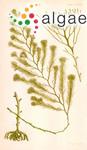 Fucus paniculatus Turner