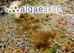 Acinetospora crinita (Carmichael) Sauvageau