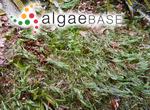 Acrocladus pellucidus (Hudson) Boedeker