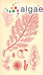 Plocamium procerum (C.Agardh) Suhr