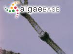 Nothocladus ater (Hudson) Entwisle & M.L.Vis