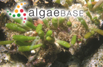 Bornetella oligospora Solms-Laubach