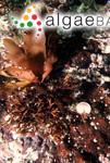 Botryocarpa prolifera Greville