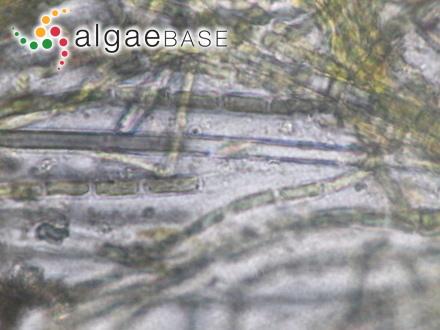Microspora ficulinae P.J.L.Dangeard