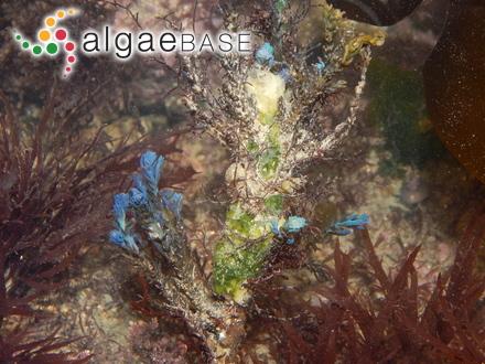 Trachelomonas bacillifera Playfair