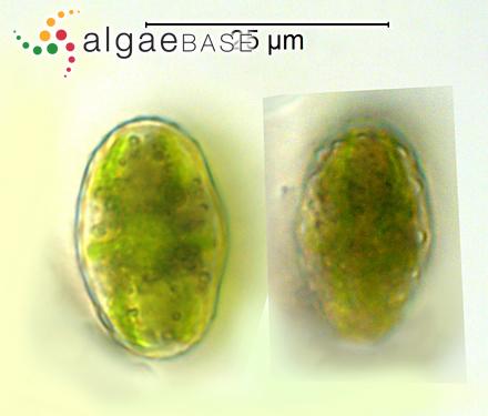 Fucus inflatus f. membranaceus Rosenvinge