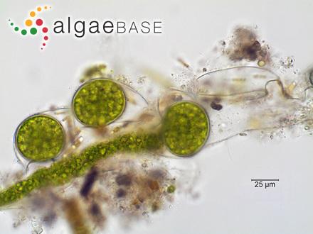 Sargassum parvifolium (Turner) C.Agardh