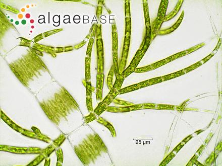 Thamnophora magellanica Montagne
