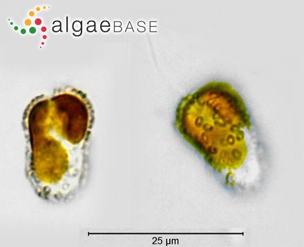 Scytosiphon fascia (O.F.Müller) P.Crouan & H.Crouan
