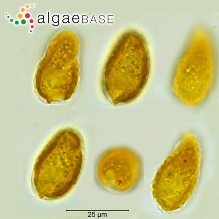 Petalonia debilis (Kützing) Derbès & Solier