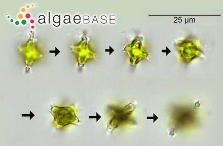 Gigartina rugulosa (Bory) Bory