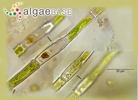 Mesogloia falklandica Skottsberg