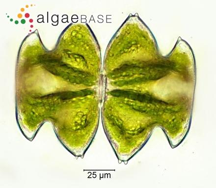 Rhipiliopsis carolyniae Kraft