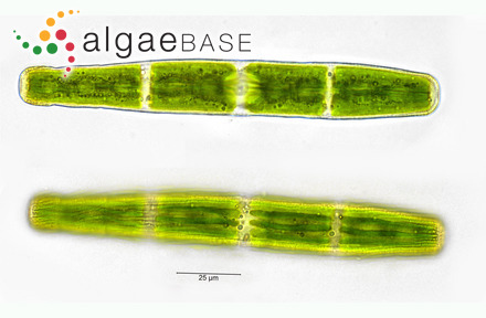 Mesophyllum philippii (Foslie) Adey